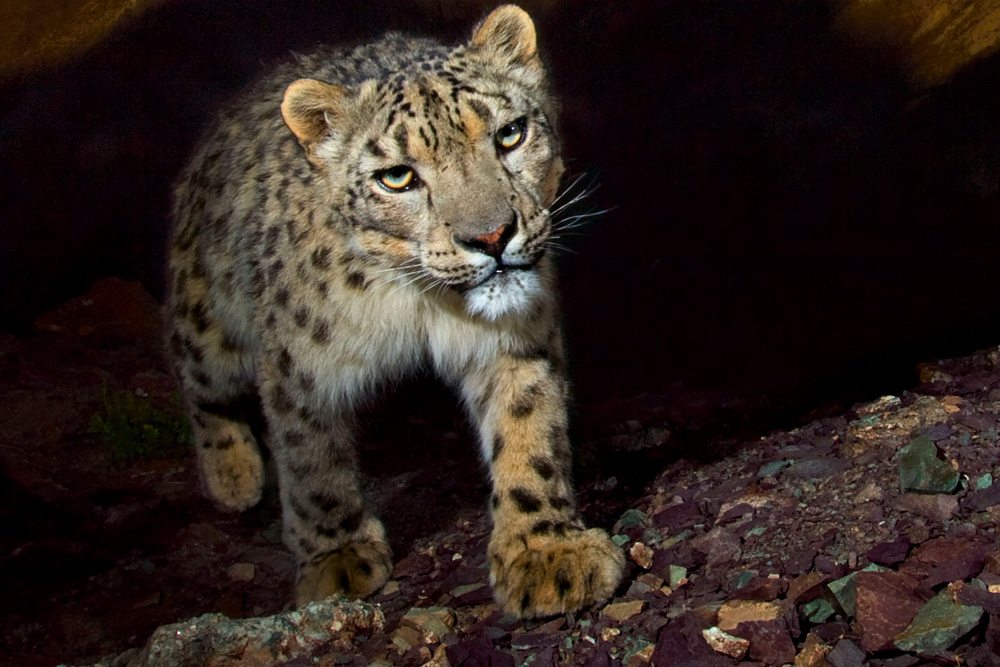 Snow leopard poaching - photo#38