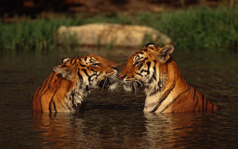 List of Tiger reserves in India – updated. How many Tiger reserves in India.