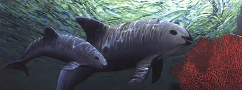 Vaquita porpoises are so rare there are nearly no photos of them. This is an artist's rendering.