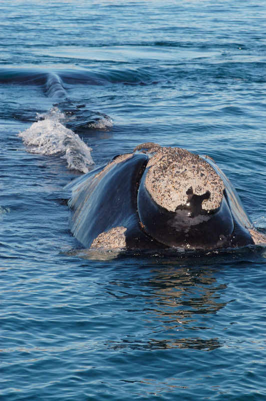 Southern right whale  Valdés Peninsula, Chubut Province, Patagonia, Argentina.