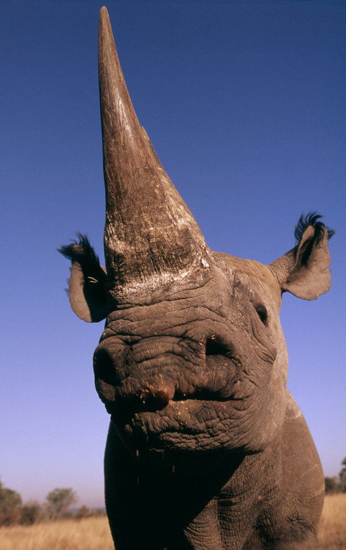 Microchips To Protect Rhinos In Kenya Wwf