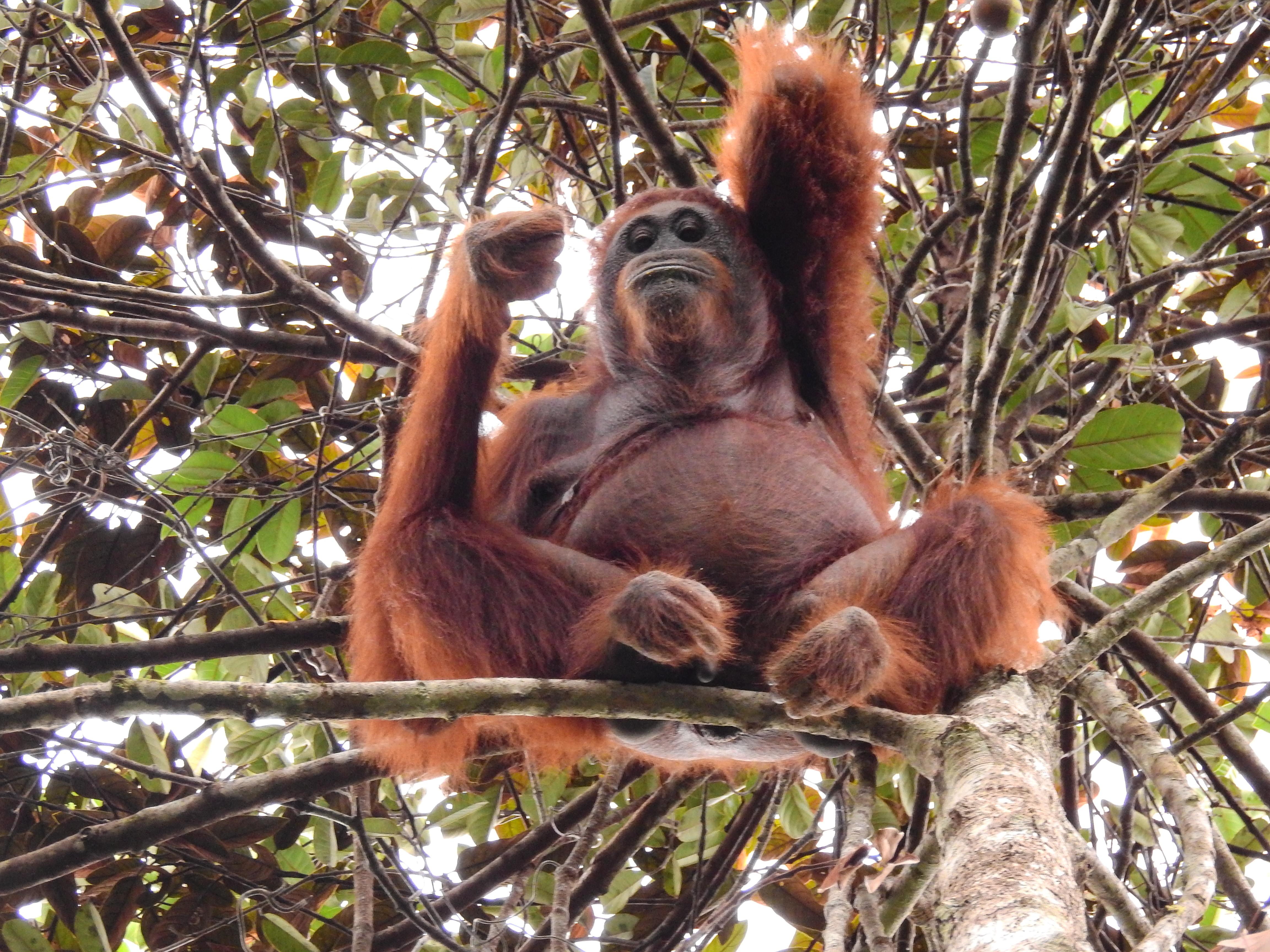 Effectively saving Kalimantan's orangutan | WWF