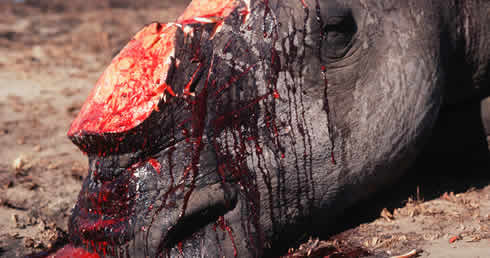 White rhino killed by poachers for horn.