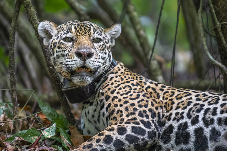 WWF's first jaguar collaring mission reveals flourishing population on Amazonian island
