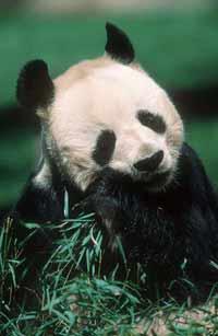 Panda bite - photo#43