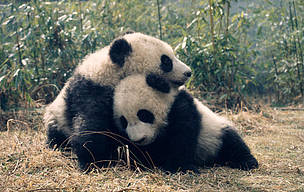 Pandas playing in Sichuan province