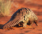 Pangolin, the most trafficked mammal in the world.