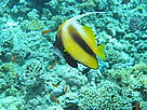 Longfin Bannerfish (Heniochus acuminatus), swimming over Coral reef showing bleaching signs. Red Sea.