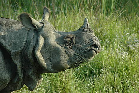 Greater One - Horned Rhinoceros | WWF