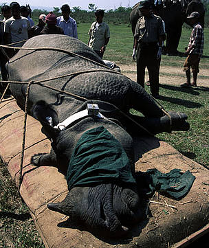 Darted and radio-collared greater one-horned rhinoceros, to be translocated from Royal Chitwan Nationnal Park to  Royal Bardia National Park.