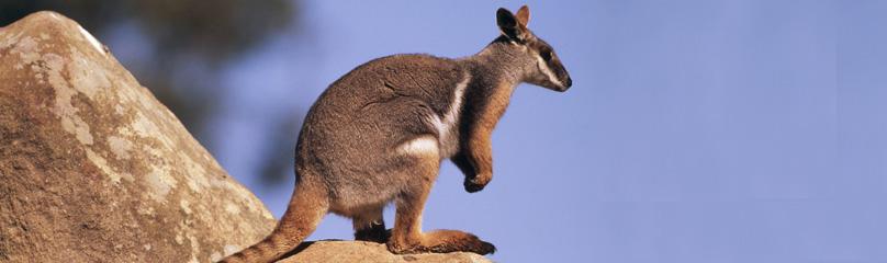 Rock Wallaby Wwf