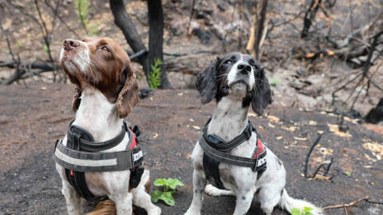 Video: Special detection dogs find surviving koalas amid Australian bushfires
