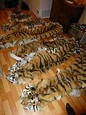 Eight tiger skins seized in Russia, including four cubs