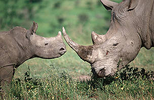 Rhino poaching statistics highlight need for action against crime