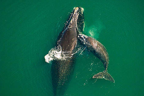 Northern right whale mother & calf (Eubalaena glacialis) off the Atlantic coast of Florida. rel=