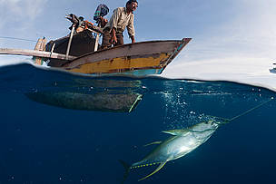 Small outrigger boat with fisherman pulling up a newly caught yellowfin tuna by hook and line, Indonesia.