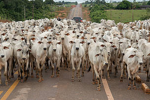 Cattle on the MT-208 road, Mato Grosso, Brazil.