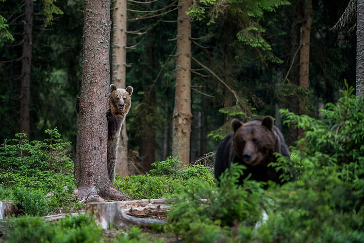 European Commission Responds to Romanian Senate's Bear Hunting Bill