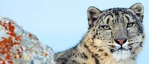 Pic Of Snow Leopard Impremedia Net