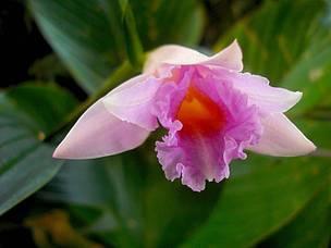 Entre las nuevas especies se descubrió también esta magnífica orquídea rosada (Sobralia imavieirae), registrada por un grupo de científicos en 2010 en Roraima, en la Amazonía brasileña. El gran número de nuevas especies incluyen también a miembros de la familia de angiospermas, dicotiledóneas, hiedras, plantas monocotiledóneas, margaritas o girasoles y nomeolvides. Asimismo, han habido adiciones a las familias de bromelias, brezos, inciensos, alcaparras, euforbios, laureles, malvas y mirto.
