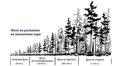 Stages of a forest development, in Bulgarian, graph rel=
