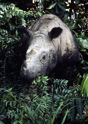 Sumatran rhino | WWF