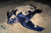 Leatherback turtle laying eggs on the beach.      © WWF / Martin HARVEY