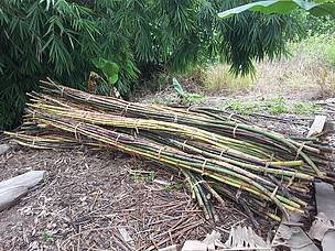 Rattan keeps forests standing in Borneo
