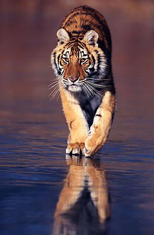 Siberian tigers poaching - photo#38