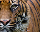 Head portrait of Sumatran tiger (Panthera tigris sumatrae)