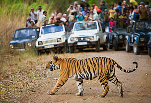 Tourists watching a Bengal tiger, India.