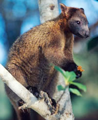Bennett's tree-kangaroo (Dendrolagus bennettianus) on the branch of a tree. The Bennett's ...      © WWF / Martin Harvey
