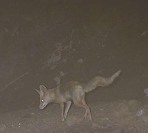A red fox caught on camera in the Wadi Wurayah area, United Arab Emirates.      © EWS-WWF