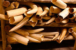 Elephant tusks stored away under extreme security measures  in the ivory stock pile of the Kruger National Park, South Africa.