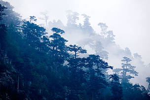 European black pine (Pinus nigra) forest in mist. This tree is endemic to the Domogled National Park, Romania.