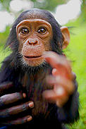 Mapeewa, a sixth month old orphaned, baby, chimpanzee who was rescued from a Congolese Govenrment soldier six weeks before the picture was taken, the Provincial capital of Goma, in the Democratic Republic of Congo on the 18th November, 2008.