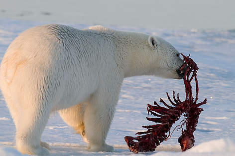 Reindeer and polar bears in the frozen north 4