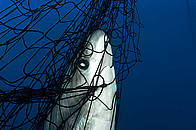 Thresher shark (Alopias vulpinus) caught in gill net, Gulf of California, Mexico.  	© Brian J. Skerry / National Geographic Stock / WWF