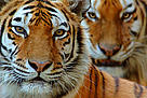 Two Siberian tigers (Panthera tigris altaica)