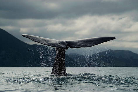 More than 200,000 Antarctic blue whales used to live in the Southern Ocean – but 20th Century ... rel=
