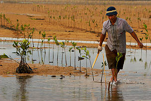 Planting mangrove seedlings in an estuary at low tide. Bali, Indonesia.