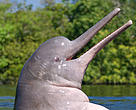 Amazon river dolphin breaching.