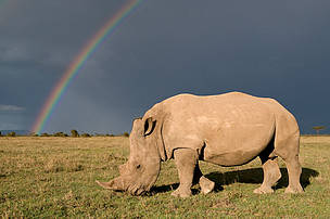 Southern white rhinoceros (Ceratotherium simum simum) with rainbow and storm clouds.