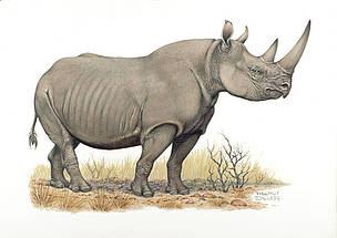 African rhinos | WWF