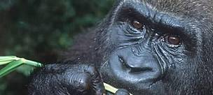 Orphaned western lowland gorillas reintroduced into the wild. Projet Protection des Gorilles, Gabon/Congo West-Central Africa: Nigeria to DRC.