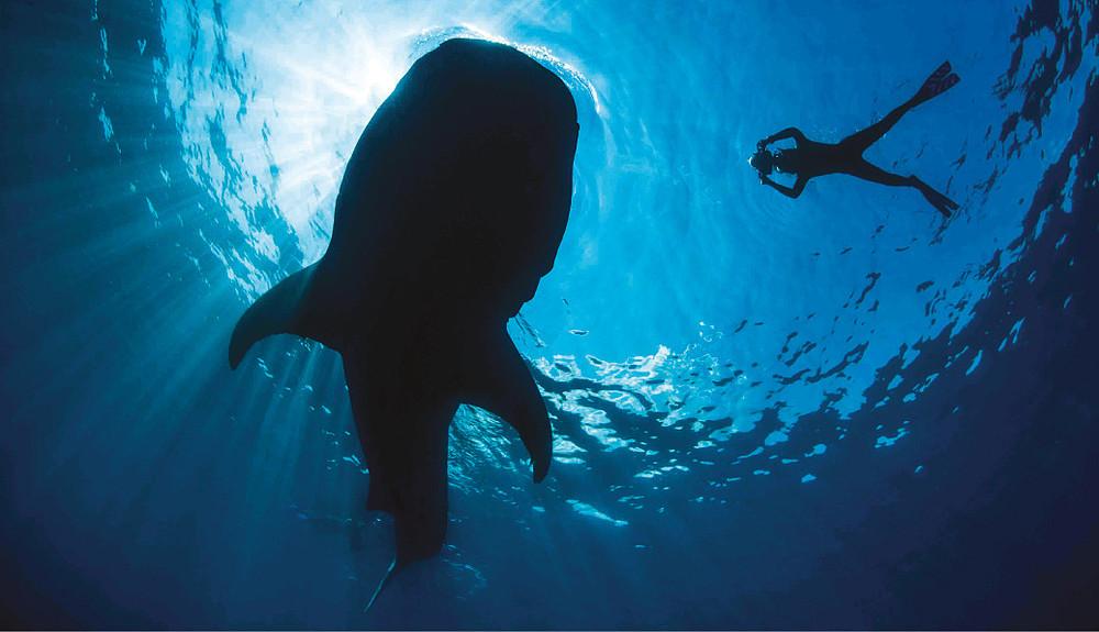 Whale Sharks | WWF