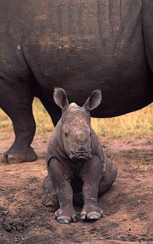 White rhinoceros | WWF