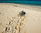 Hawksbill turtle (Eretmochelys imbricata), female heading back to the sea after laying eggs. Seychelles. Distribution: Tropical and subtropical oceans worldwide.