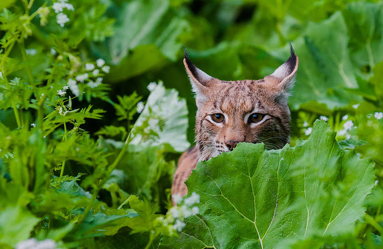 June 11th: International Lynx Day - Celebrate the Biggest Wild Cat in Europe