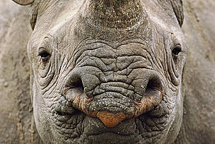Black rhinoceros (Diceros bicornis) head portrait, Swaziland, critically endangered species